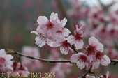 武界櫻花:霧社櫻、福爾摩沙櫻、 富士櫻、香水櫻 20150221:IMG_2995  香水櫻.jpg