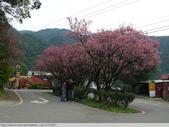 汐止大尖山天秀宮櫻花 2011/03/14:P1010604.JPG