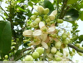 我每年中秋吃柚子, 柚子花第一次看:P1020319.JPG
