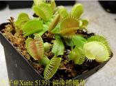 鏡像捕蠅草 Dionaea muscipula Mirror 20181117:51391 鏡像捕蠅草 .jpg