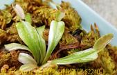 西伯利亞捕蠅草 Dionaea Siberia 20181122:西伯利亞捕蠅草 52240-1.jpg