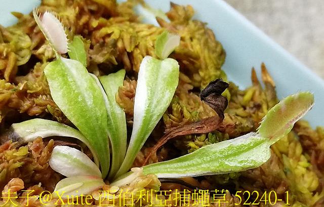 西伯利亞捕蠅草 52240-1.jpg - 西伯利亞捕蠅草 Dionaea Siberia 20181122
