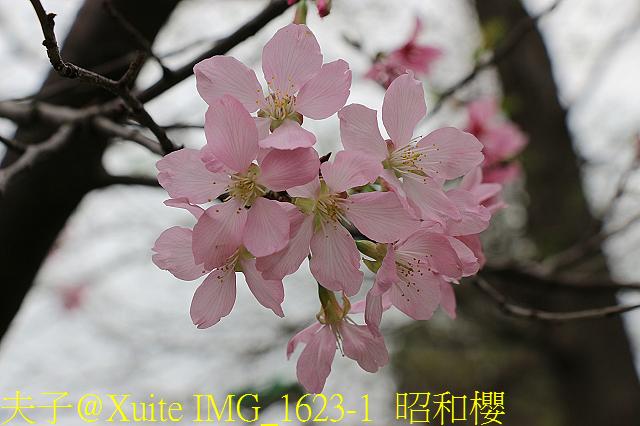 IMG_1623-1  昭和櫻.jpg - 桃園區靜思堂昭和櫻 2017/04/06