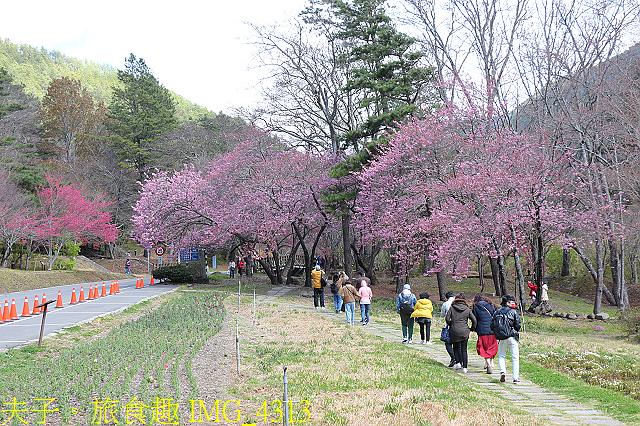 2021年 武陵農場 山櫻花、紅粉佳人 繽紛綻放 20210214:IMG_4313.jpg