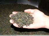 翠玉烏龍茶製作 3 - 揉捻成型 :翠玉烏龍茶半成品未揀枝P1100170.jpg