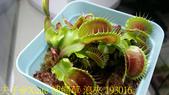 模糊牙捕蠅草 食蟲植物 20181106:捕蠅草 浪夾 193016.jpg