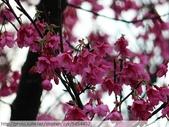 桃園虎頭山桃園高中櫻花開了! 2012/02/06:P1050050.jpg