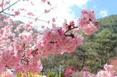 2021年 武陵農場 山櫻花、紅粉佳人 繽紛綻放 20210214:IMG_4670-1.jpg