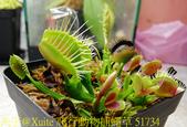 爬行動物捕蠅草 Dionaea Reptile 20181119:爬行動物捕蠅草 51734.jpg