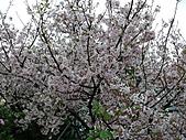 淡水無極天元宮, 櫻花開了!  2011/03/08 17:00 天氣: 陰:P1010407.JPG