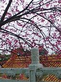 桃園市虎頭山櫻花開了 2010/01/31:P1000193-1.jpg