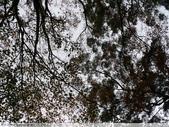 石門水庫溪洲公園 楓紅+落羽松 2011/12/28 :P1030308.jpg