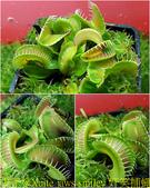 食蟲植物:jaws smiley 奸笑捕蠅草.jpg