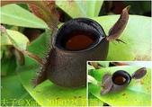 食蟲植物:豬籠草 Nepenthes ampullaria black.jpg