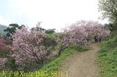 騰龍御櫻 櫻花綻放 2018/03/05:IMG_8871-1.jpg