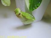 食蟲植物 葫蘆x勞氏x窄葉 豬籠草 20210212:IMG_6724-1.jpg