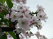 淡水無極天元宮, 櫻花開了!  2011/03/08 17:00 天氣: 陰:P1010398-1.jpg