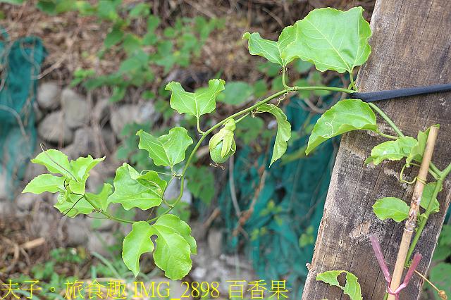 IMG_2898 百香果.jpg - Lipahak 三峽野菜農園 20201114