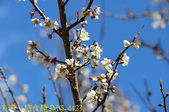 2021年 武陵農場 山櫻花、紅粉佳人 繽紛綻放 20210214:IMG_4423.jpg