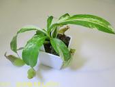 食蟲植物 葫蘆x勞氏x窄葉 豬籠草 20210212:IMG_6729-1.jpg
