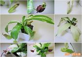 食蟲植物 葫蘆x勞氏x窄葉 豬籠草 20210212:出錦 豬籠草-1.jpg