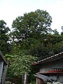 桃園龜山楓樹村的百年楓香-楓樹村18鄰40號(光華路) 2010/08/19:P1090168.JPG