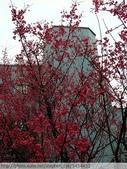 桃園虎頭山桃園高中櫻花開了! 2012/02/06:P1050043.jpg