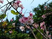 吉野櫻 VS 重瓣山櫻花 2010/02/08:P1070213.JPG