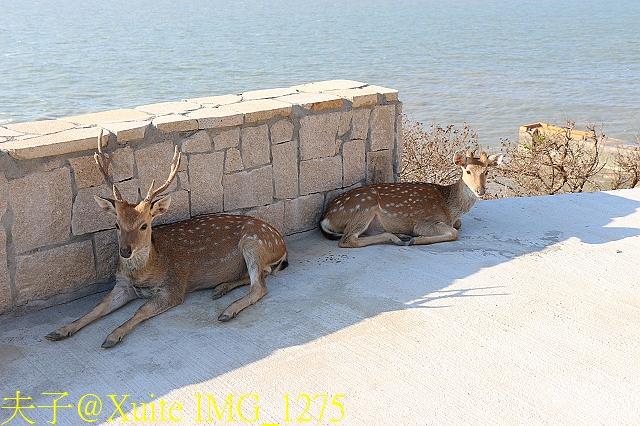 IMG_1275.jpg - 可愛的梅花鹿在大坵島等你 20171021