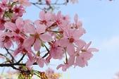騰龍御櫻 櫻花綻放 2018/03/05:IMG_8841-1.jpg