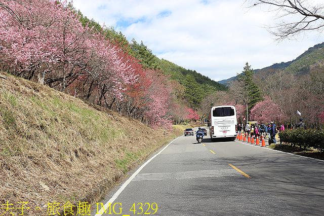 2021年 武陵農場 山櫻花、紅粉佳人 繽紛綻放 20210214:IMG_4329.jpg