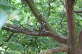 桃園市八德埤塘自然生態公園 20150501:IMG_8411 白頭翁.jpg