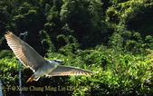 新北市坪林拱橋,賞白鷺鷥、黃頭鷺、夜鷺  2015/05/06:DSC_1988.jpg