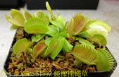 鏡像捕蠅草 Dionaea muscipula Mirror 20181117:51392 鏡像捕蠅草 .jpg