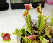 熱吻捕蠅草 (Dionaea Hot Kiss)  20181117:51513 熱吻捕蠅草.jpg