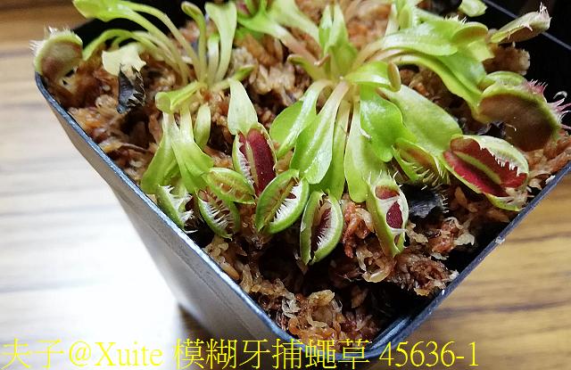 模糊牙捕蠅草 45636-1.jpg - 模糊牙捕蠅草 食蟲植物 20181106