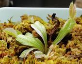 西伯利亞捕蠅草 Dionaea Siberia 20181122:西伯利亞捕蠅草 52239-1.jpg