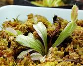西伯利亞捕蠅草 Dionaea Siberia 20181122:西伯利亞捕蠅草 52242-1.jpg