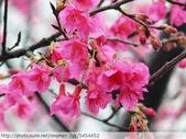 桃園虎頭山桃園高中櫻花開了! 2012/02/06:P1050037.jpg