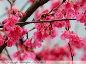 桃園虎頭山桃園高中櫻花開了! 2012/02/06:P1050026.jpg
