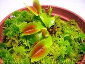 模糊牙捕蠅草 食蟲植物 20181106:美人齒捕蠅草P1060071.jpg