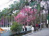 桃園市虎頭山櫻花開了 2010/01/31:P1000187.JPG