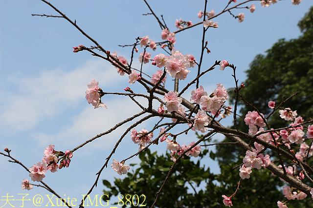IMG_8802  大寒櫻.jpg - 台北市中正紀念堂,大漁櫻、大寒櫻、修繕寺寒櫻 20160306