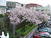 淡水無極天元宮, 櫻花開了!  2011/03/08 17:00 天氣: 陰:P1010405.JPG