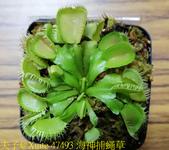 海神捕蠅草 Dionaea Triton 食蟲植物 20181108:47493 海神捕蠅草.jpg