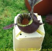 食蟲植物:豬籠草 Old man ball 2 老人蛋蛋 第二版 N.ampullaria OMB ll
