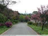汐止大尖山天秀宮櫻花 2011/03/14:P1010577.JPG