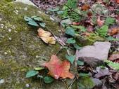 石門水庫楓葉紅了 2011/11/28:P1030212.jpg