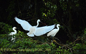 新北市坪林拱橋,賞白鷺鷥、黃頭鷺、夜鷺  2015/05/06:DSC_2098.jpg