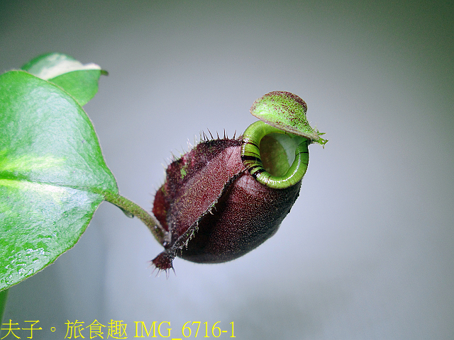IMG_6716-1.jpg - 食蟲植物 維京x黑月亮豬籠草 20210212